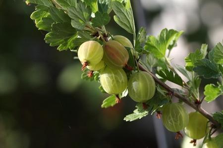 Gooseberry fruit on a spiky branch of a bush.