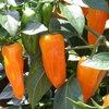 chilli-cheyenne-2913639-100x100