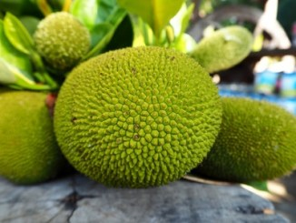 A mature green jackfruit.