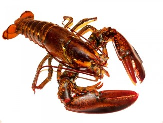 Lobster on a white background. A source of astaxanthin.