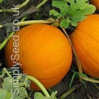 Orange pumpkins cv. Charmed