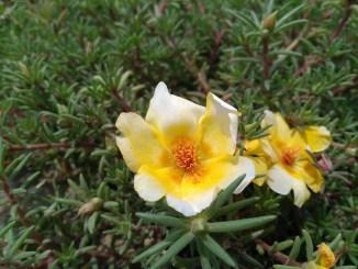 Portulaca oleraceae