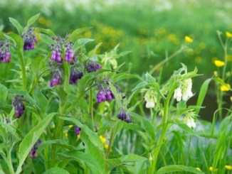Purple Comfrey - an important herbal medicine growing in a meadow.