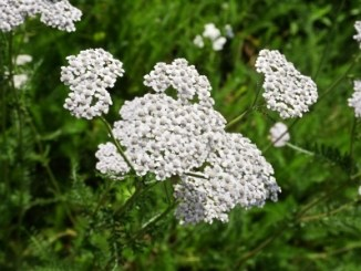 Yarrow or Milfoil, white panicles.