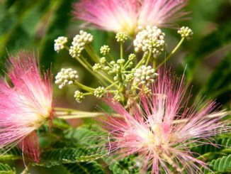 Persian Silk Tree, Albizia julibrissin flowers close-up as a background.