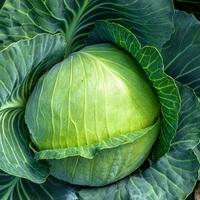 Cabbage variety, Mozart.