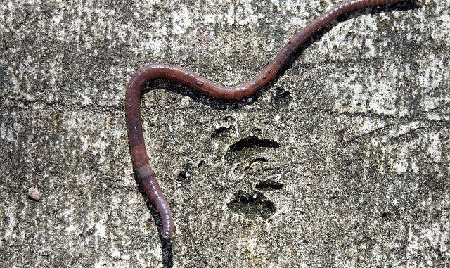 An earthworm. Its skin contains trehalose protecting it from dessication.