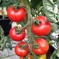 Tomato variety, Shirley on trusses.