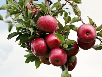 Apples hanging from a tree with a sky background.