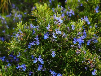 Rosemary, light blue flowers