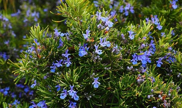 Rosemary, light blue flowers