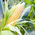 Sweetcorn-Earlibird - SimplySeeds (photo)