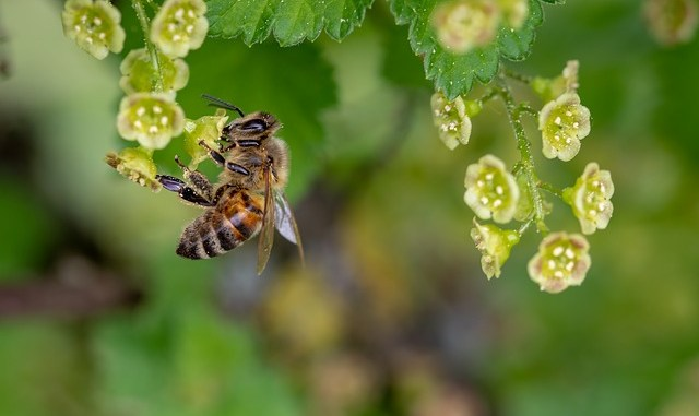 bees produce bee pollen when taking nectar from flowers.