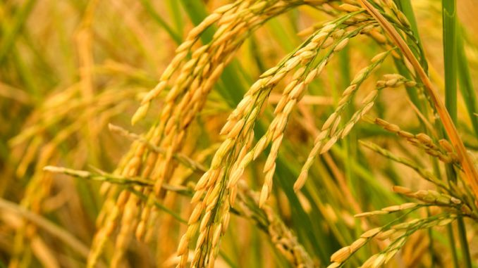 Golden Rice in close-up.