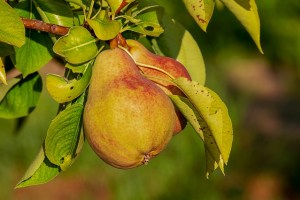 Pears hanging from a branch