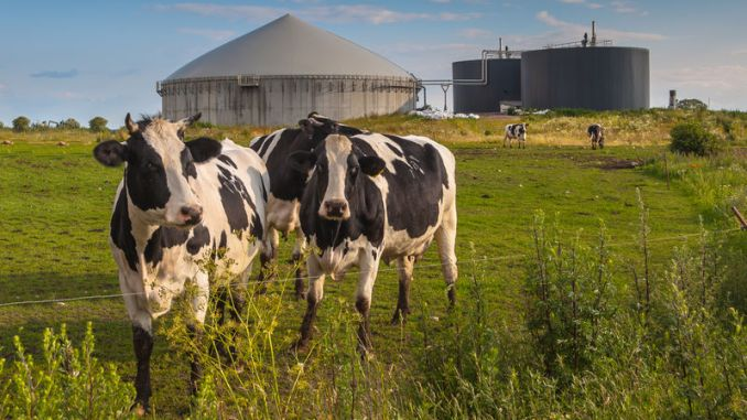 anaerobic digesters with cows