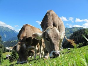Cows feeding in a pasture