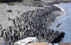 Robben Island Penguins by Jacci Ramage