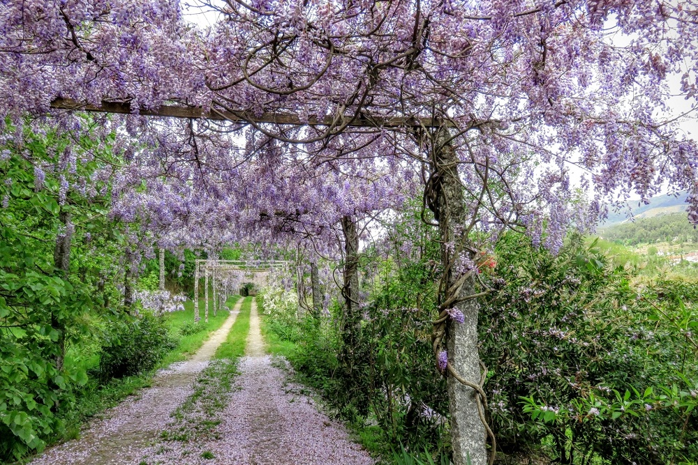 Wisteria leads to Quinta do Ameal