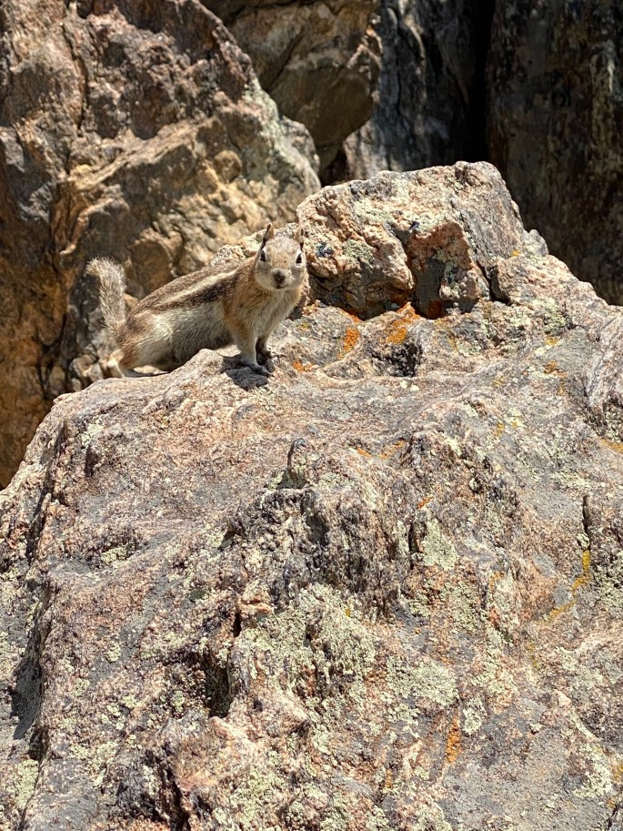Rocky Mountain National Park Chipmunk