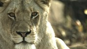 "MALIKA THE LION QUEEN: Witness the evolution of a powerful pride's lioness in the all-new wildlife special ""MALIKA THE LION QUEEN"" airing Sunday, April 4 (8:00-10:00 PM ET/PT) on FOX. © 2021 Fox Media LLC. CR: FOX."
