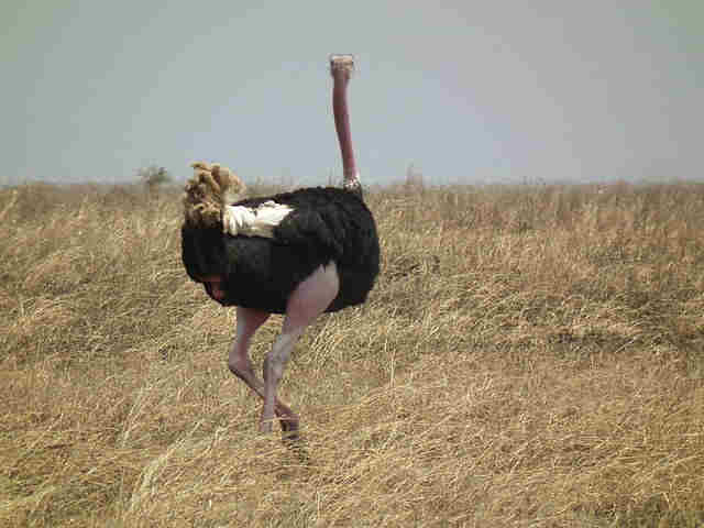 Ostrich, central to the Nigel Pearson ostrich rant
