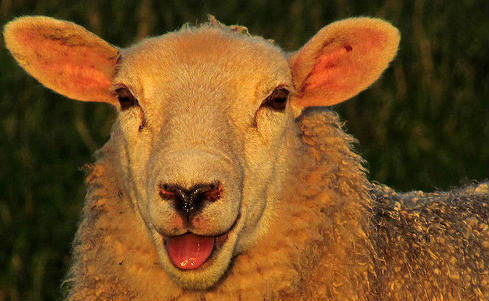 This sheep is not Garry Monk