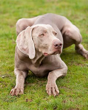 crouching-dog