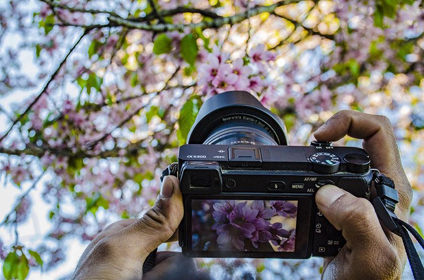 Cherry blossom Nagaland