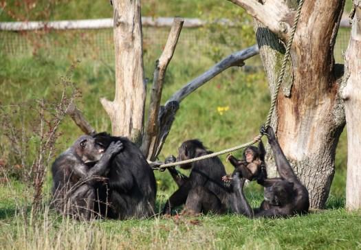 dierenrijk chimpansee
