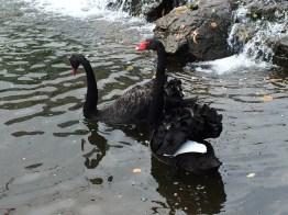 Black swans on Dawlish canal