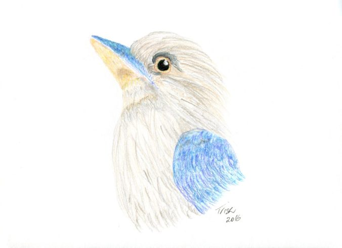 Foot drawn Kookaburra