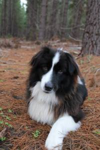 The Australian Shepherd, Tex, is such the poser in Kuitpo Forest..