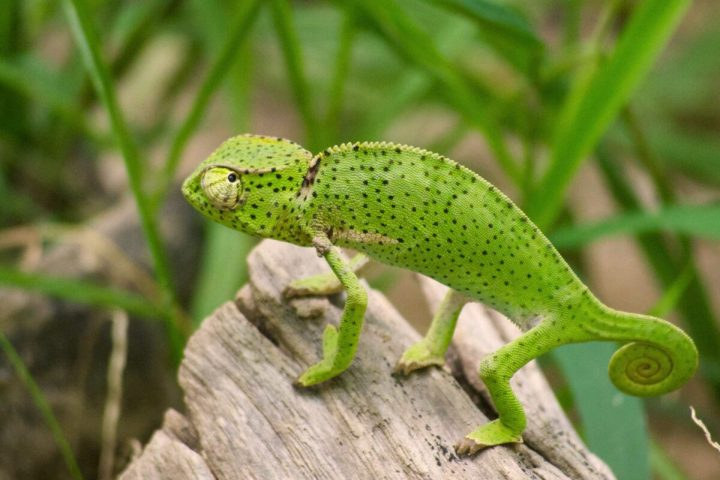Gambia activities   Snakes & reptiles   chameleon