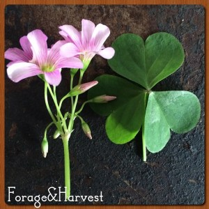 Oxalis, a common weed in Australia, and grown in gardens in around the world. Does this fit urban forager status in Australia, but veggie garden herb else where?
