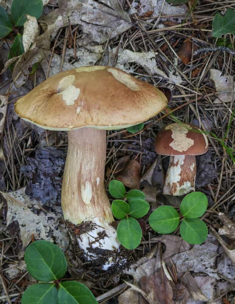 Porcini b. subcaerulescens (1)