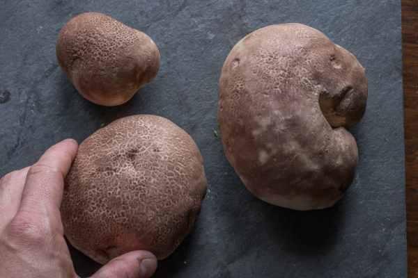 Brown skinned pufballs, Calvatia fragilis,