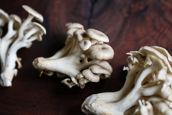 Young umbrella polypore or Polyporus umbellatus mushroom