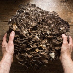 hen of the woods maitake mushroom grifola frondosa