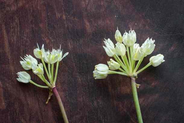 Wild ramp flowers