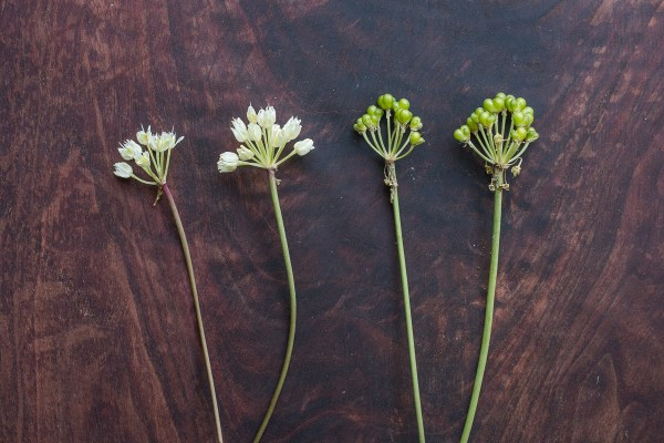 Ramp Seeds and Flowers (5)