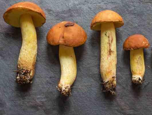 goldstalk bolete, boletus ornatipes minnesota wild mushrooms forager chef