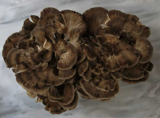 minnesota hen of the woods sheepshead ramshead mushroom