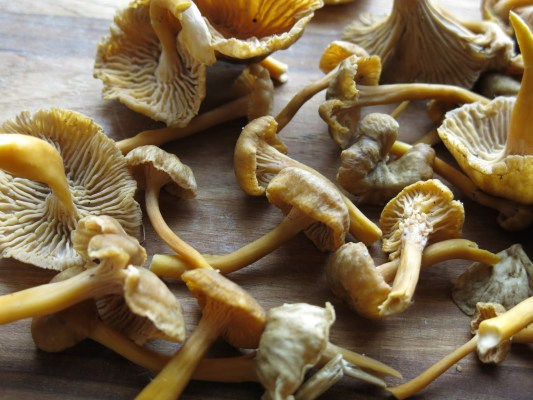 yellowfoot chanterelle