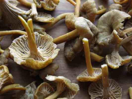 Yellowfoot Chanterelles
