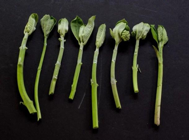 milkweed shoots