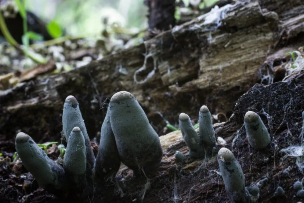 dead man's fingers, Xylaria polymorpha