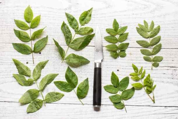 Foraged Kinome, Szechuan Peppercorn, Zanthoxylum, or Sansho Leaves_