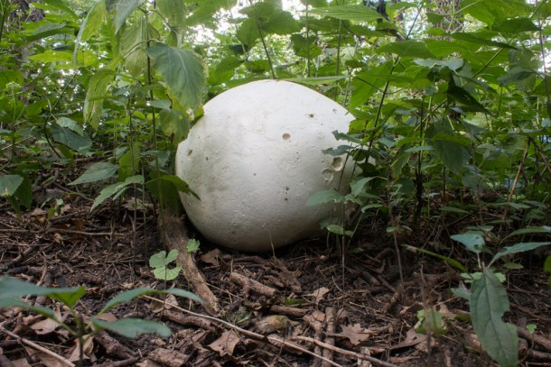 Puffball Mushrooms