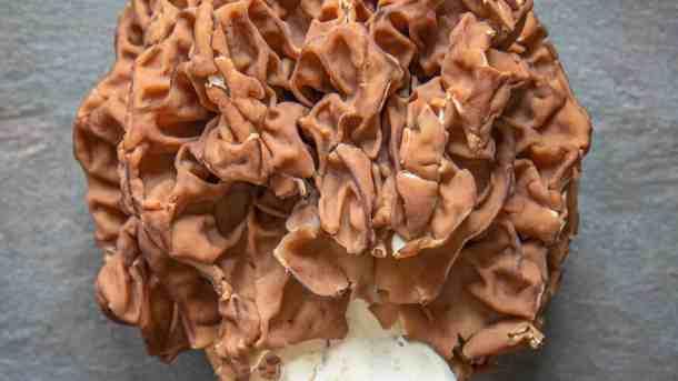 Gyromitra caroliniana are large, handsome mushrooms.